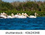 flock of pelicans on water | Shutterstock . vector #43624348
