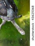 Eastern Snake Necked Turtle  ...