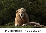 A Big Pure White Male Lion In...