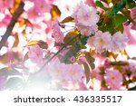 close up of the pink flowers of ... | Shutterstock . vector #436335517