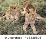 Small photo of Group or Pride of Adolescent Male Lions in Serengeti National Park, Tanzania