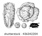 cabbage hand drawn vector... | Shutterstock .eps vector #436342204