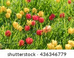 red and yellow tulips flowers... | Shutterstock . vector #436346779