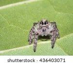 White Female Jumping Spider ...