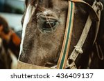 Sad Eyes Of A Horse In Harness...