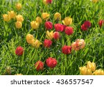 red and yellow tulips flowers... | Shutterstock . vector #436557547