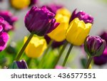 close up of purple or violet... | Shutterstock . vector #436577551