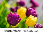 close up photo of purple or... | Shutterstock . vector #436639261