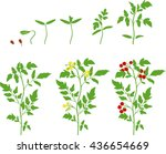 cherry tomato growing stage | Shutterstock .eps vector #436654669