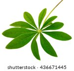 Leaf Lupine Isolate On A White...