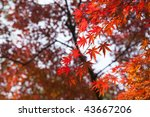The Red Maple Leaves In The...