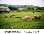 pigs graze on farm in... | Shutterstock . vector #436677475