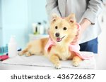 Stock photo cute dog spitz at groomer salon 436726687