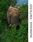 Small photo of African Bush Elephant - Loxodonta africana, Tsavo West, Kenya