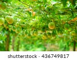 lots of raw and fresh passion fruit on the tree, passion fruit farm - stock photo