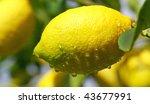Lemon on tree. - stock photo