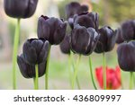 Black Gothic Tulip  This Is A...