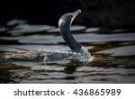 great cormorant | Shutterstock . vector #436865989