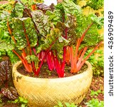 rainbow chard is one of...   Shutterstock . vector #436909489