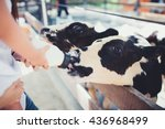 milk feeding of a calf.little... | Shutterstock . vector #436968499