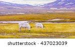 reindeers eats grass at the...   Shutterstock . vector #437023039