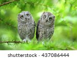 Stock photo scops owl brothers 437086444