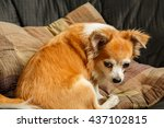 brown chihuahua dog | Shutterstock . vector #437102815