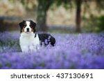 australian shepherd | Shutterstock . vector #437130691