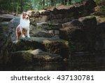 australian shepherd | Shutterstock . vector #437130781