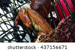 Brown Crabs  Cancer Pagurus ...