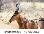 Small photo of Closeup of a red hartebeest (Alcelaphus buselaphus).