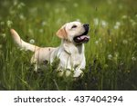 labrador dog outdoors | Shutterstock . vector #437404294