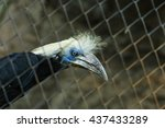Small photo of Hornbill, White-crowned Hornbill ( Aceros comatus),bird of Thailand,animal, wildlife,zoo.