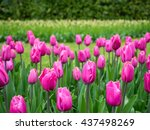 lovely pink tulips | Shutterstock . vector #437498269