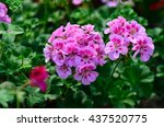 Beautiful Geranium In The...