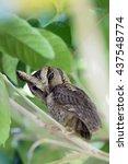 collared scops owl | Shutterstock . vector #437548774