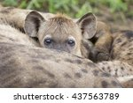 Hyena Cubs Feeding On Their...