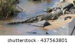 Large Nile Crocodile Eat A Fish ...