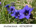 Small photo of One of the swiss national flowers, the Alpine Gentian.