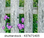 purple phlox blossoms growing...   Shutterstock . vector #437671405
