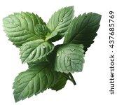 fresh peppermint leaves  mentha ... | Shutterstock . vector #437685769