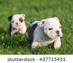 Stock photo english bulldog puppies playing outside in the grass 437715451