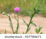 Carduus Acanthoides Plant ...