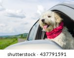 bichon frise looking out of car ... | Shutterstock . vector #437791591