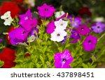 Morning Glory Flowers Purple...