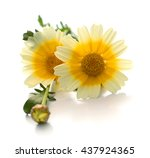 Single White Chrysanthemum...