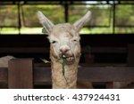 a lama enjoys eating its grass | Shutterstock . vector #437924431