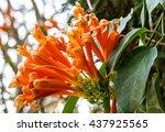 african tree blossom  orange