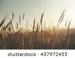 wheat field on the sunset... | Shutterstock . vector #437972455
