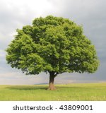 oak tree with new leaf growth... | Shutterstock . vector #43809001